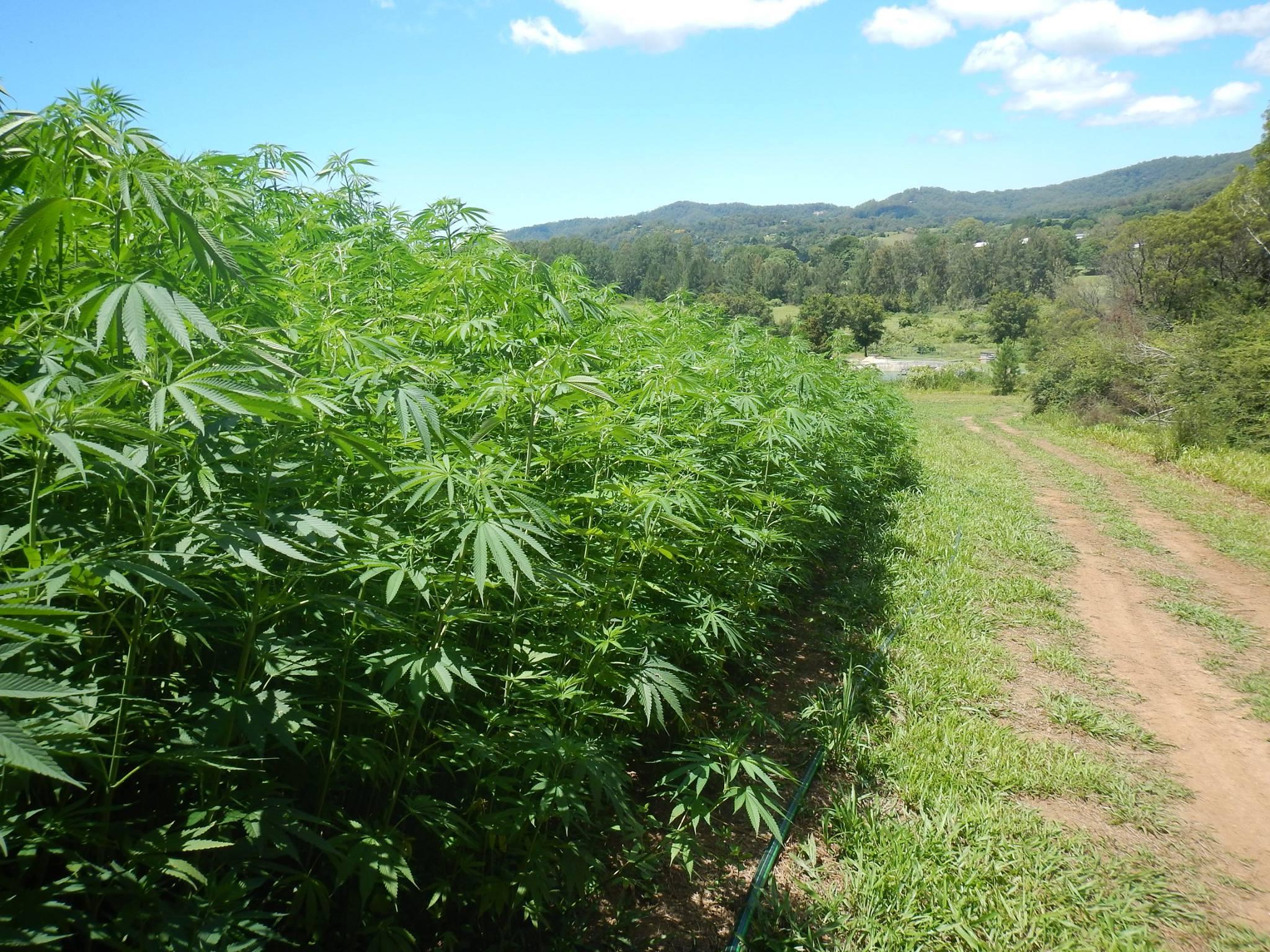 hemp-farm-bellingen-2013-2
