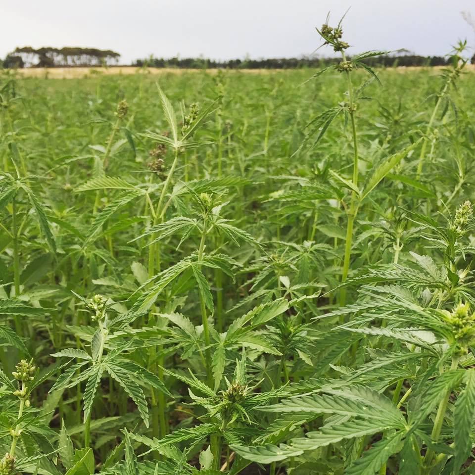 australian-hemp-fields